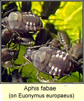 Aphis fabae, Black bean aphid