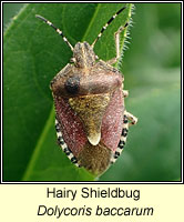Dolycoris baccarum, Hairy Shieldbug