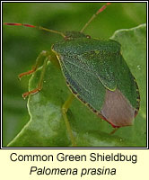 Palomena prasina, Common Green Shieldbug
