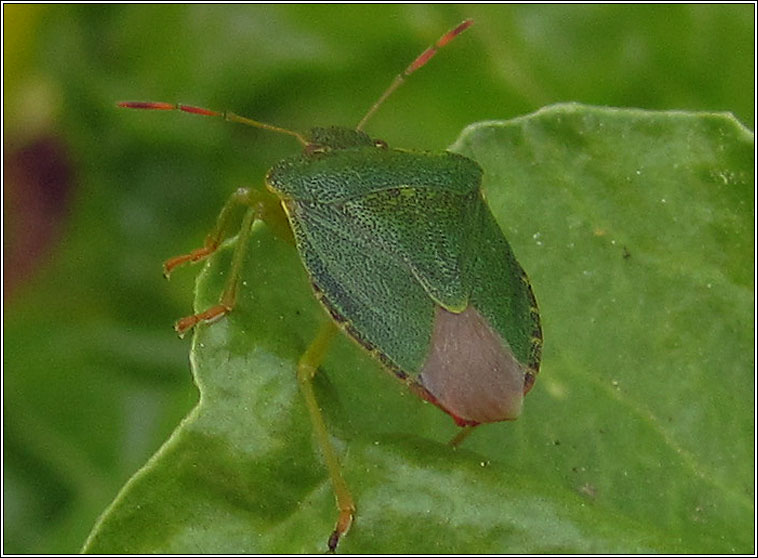 Common Green Shieldbug, Palomena prasina