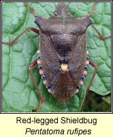 Pentatoma rufipes, Red-legged Shieldbug