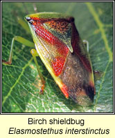 Elasmostethus interstinctus, Birch shieldbug