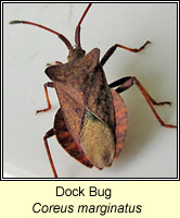 Coreus marginatus, Dock Bug