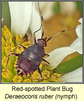 Deraeocoris ruber, Red-spotted Plant Bug