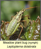 Leptopterna dolabrata, Meadow plant bug