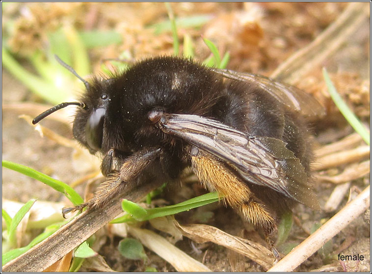 Hairy-footed flower bee, Anthophora plumipes