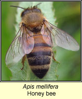 Apis mellifera, Honey Bee