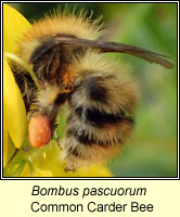 Bombus pascuorum, Common Carder Bee