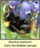 Bombus pratorum, Early Bumblebee