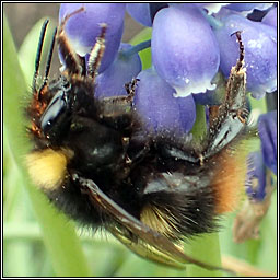 Early Bumblebee, Bombus pratorum