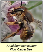 Anthidium manicatum, Wool Carder Bee