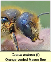 Osmia leaiana, Orange-vented Mason Bee