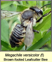 Megachile versicolor, Brown-footed Leafcutter Bee