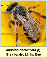 Andrena denticulata, Grey-banded Mining Bee