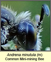 Andrena minutula, Common Mini-mining Bee