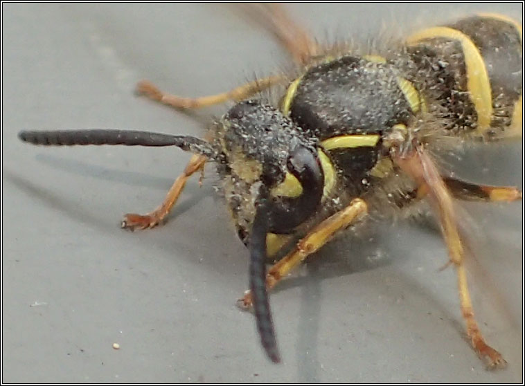 Common Wasp, Vespula vulgaris