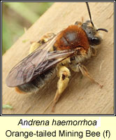Andrena haemorrhoa, Orange-tailed Mining Bee / Early Mining Bee