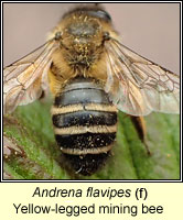 Andrena flavipes, Yellow-legged mining bee