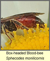 Sphecodes monilicornis, Box-headed Blood-bee