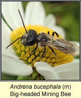 Andrena bucephala, Big-headed Mining Bee