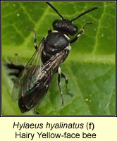 Hylaeus hyalinatus, Hairy Yellow-face Bee
