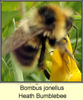 Bombus jonellus, Heath Bumblebee