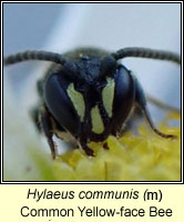 Hylaeus communis, Common Yellow-face Bee
