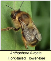 Anthophora furcata, Fork-tailed Flower-bee