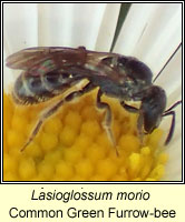 Lasioglossum morio, Common Green Furrow-bee