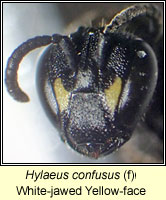 Hylaeus confusus, White-jawed Yellow-face