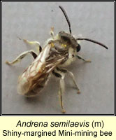 Andrena semilaevis, Shiny-margined mini-mining bee