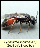 Sphecodes geoffrellus, Geoffroy's Blood-bee