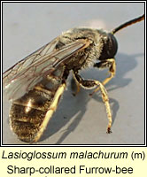 Lasioglossum malachurum, Sharp-collared Furrow-bee