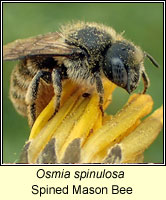 Osmia spinulosa, Spined Mason Bee
