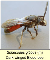 Sphecodes gibbus, Dark-winged Blood-bee