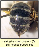 Lasioglossum zonulum, Bull-headed Furrow-bee