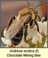 Andrena scotica, Chocolate Mining Bee