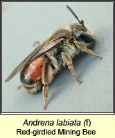 Andrena labiata, Red-girdled Mining Bee