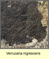 Verrucaria nigrescens