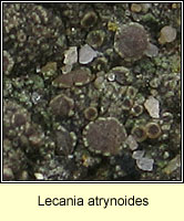 Lecania atrynoides
