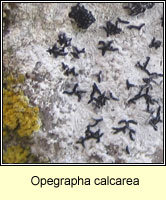 Opegrapha calcarea