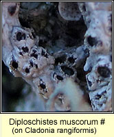 Diploschistes muscorum