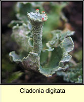 Cladonia digitata