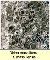 Dirina massiliensis f massiliensis