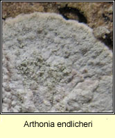 Arthonia endlicheri