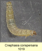Cnephasia conspersana
