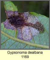 Gypsonoma dealbana