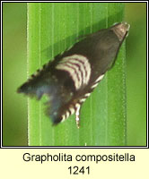 Grapholita compositella
