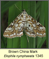 Brown China Mark, Elophila nymphaeata