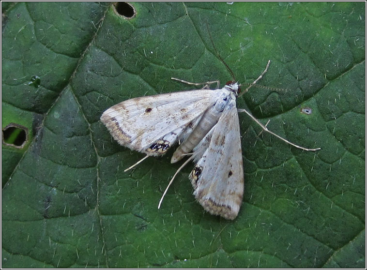 Small China-mark, Cataclysta lemnata
